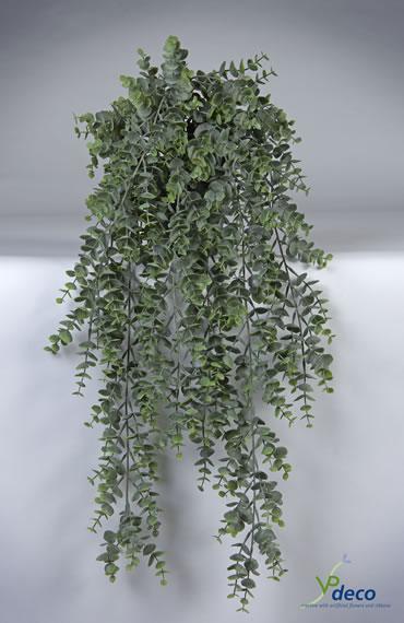 Eucalypthus in pot
